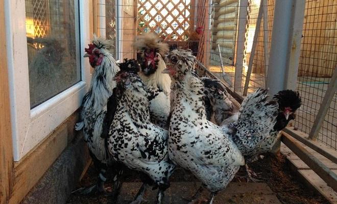 Выращивание кур в домашних условиях породы кур 67