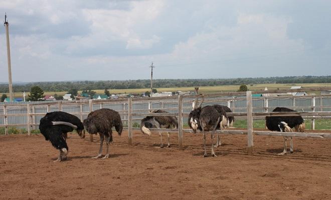 Выращивание страусов в домашних условиях с нуля с чего начать 23
