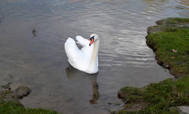 Лебедь на берегу водоема
