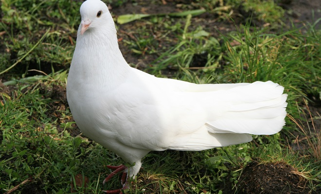 Белый бакинский бойный голубь