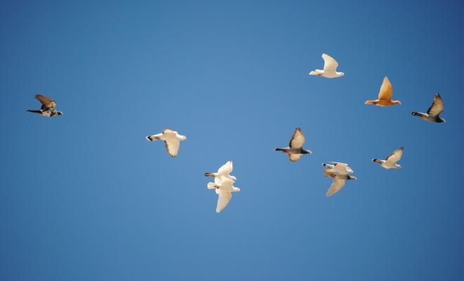 Голуби в полете
