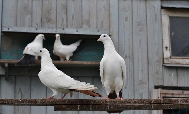 Краснохвостые бакинские бойные голуби