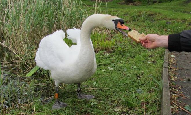 Лебедь ест хлеб из рук
