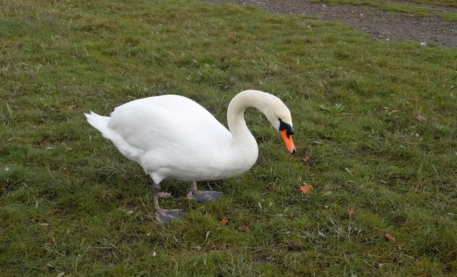 Лебедь-трубачь стоит на траве