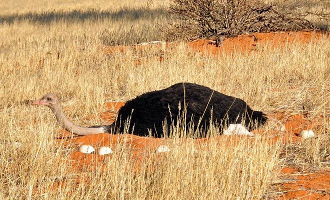 Яйценоскость страусов