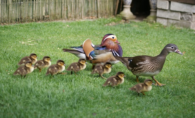 Птенцы на прогулке
