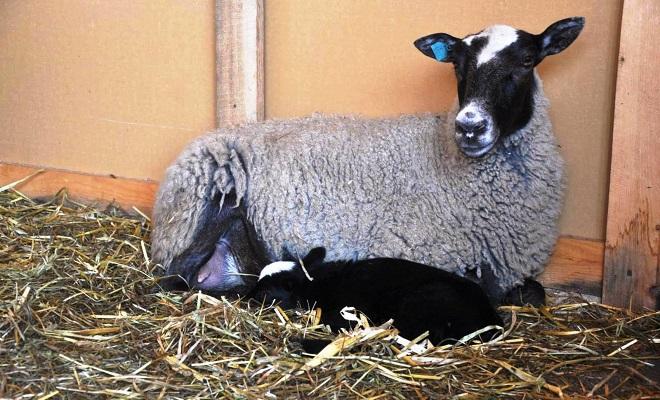 Овцематка после окота