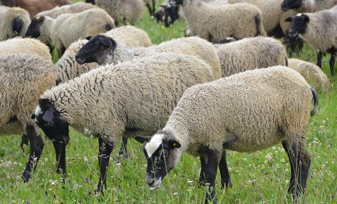 Телосложение овец