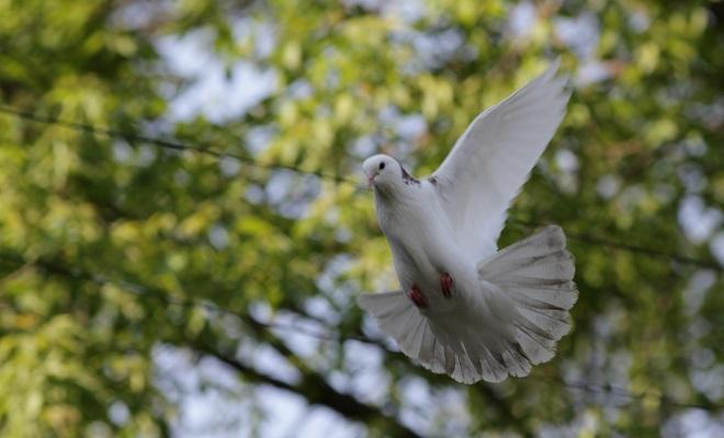 Широкохвостый голубь