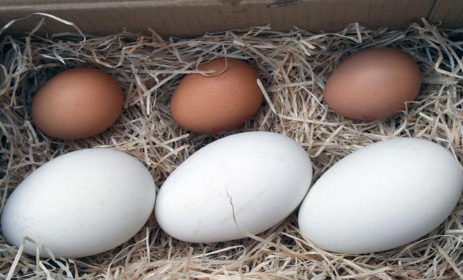 Размер гусиных яиц в сравнении с куриными