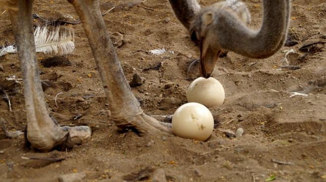 Страус и два яйца