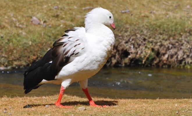 Андский гусь из рода Патагонских