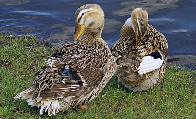 Башкирская цветная утка