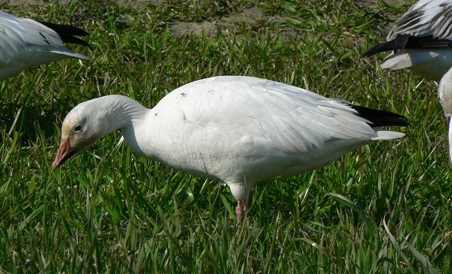 Белый гусь на острове Врангеля