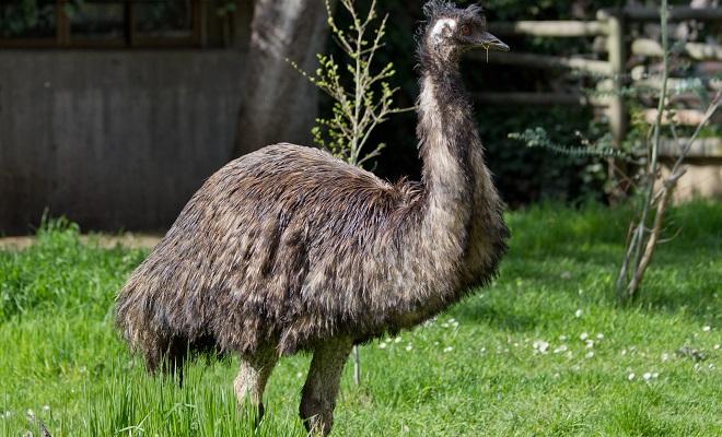 Австралийский страус эму описание разведение