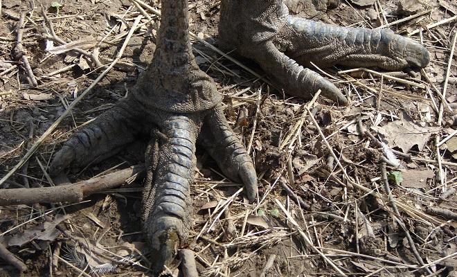 Лапы и когти австралийского эму