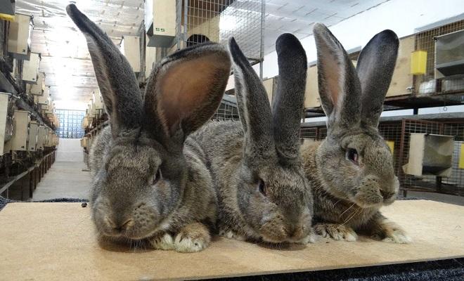 Кролики для продажи