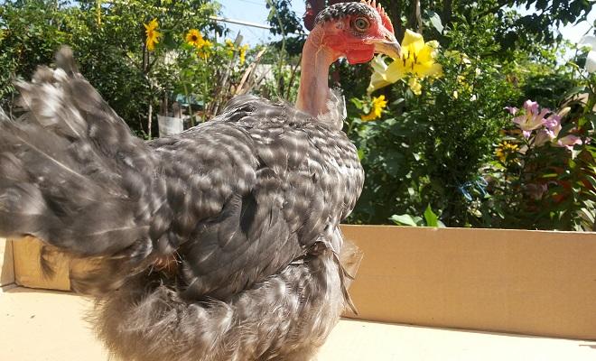 Курица испанка