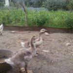 Месячные гусята