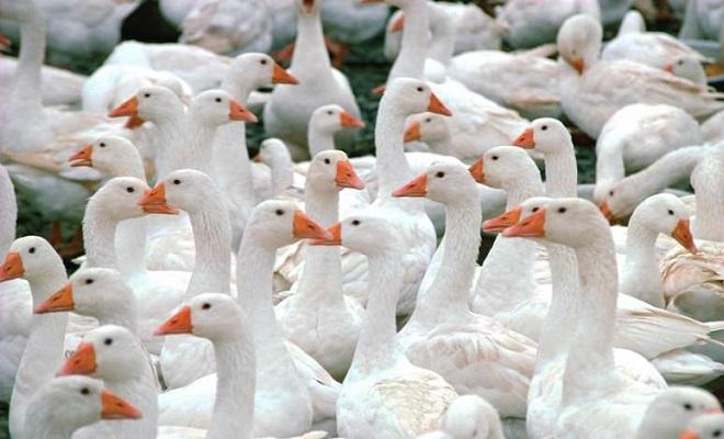 Домашние гуси