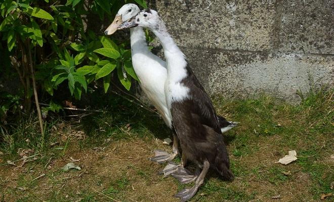 Черно-белые индийские уточки