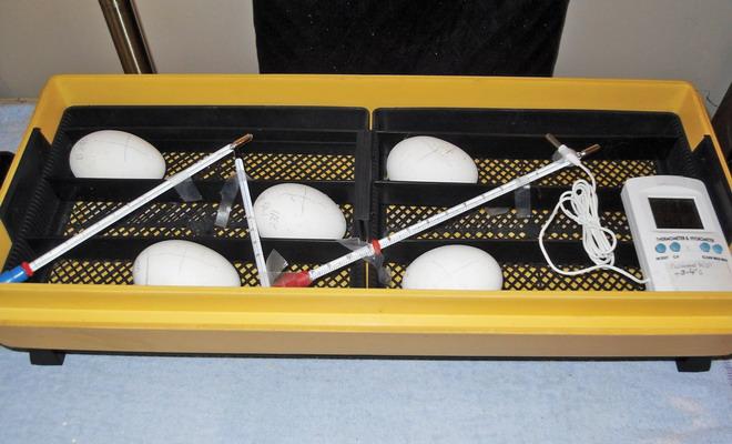 Инкубатор для гусиных яиц