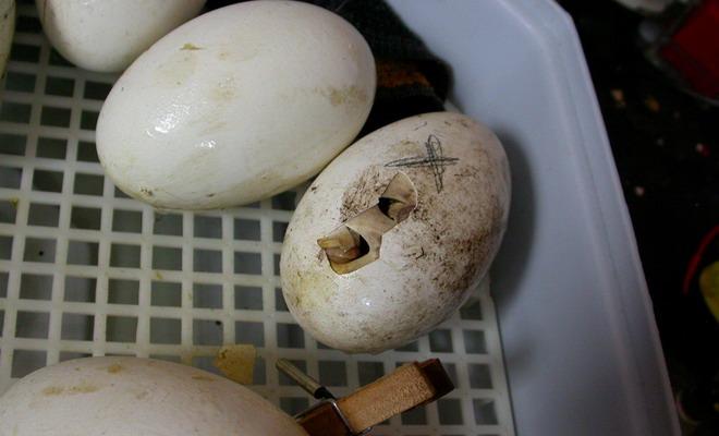 Вылупление птенца