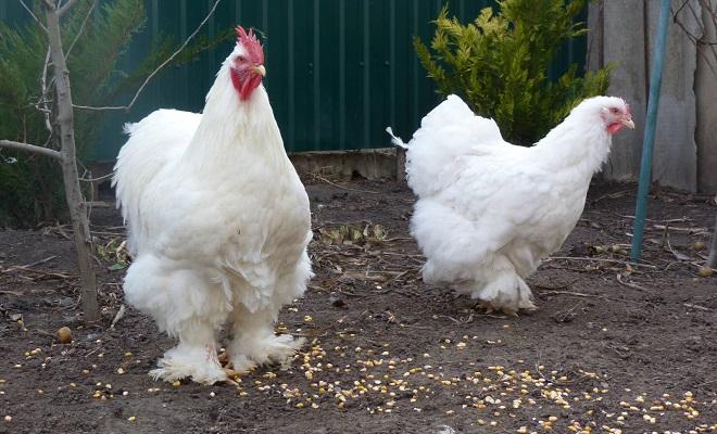 Петух и курица белого окраса