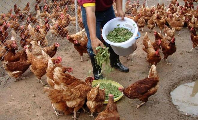 Свежая зелень для корма