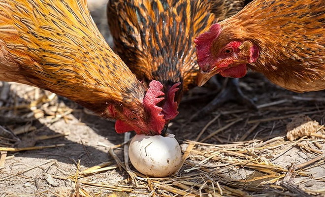 Куры смотрят на яйцо