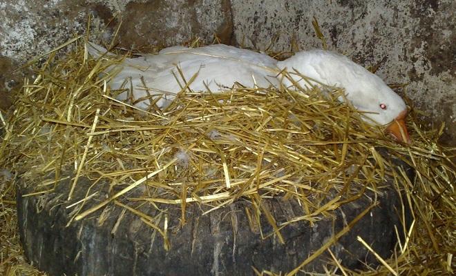 Яйцекладка и высиживание