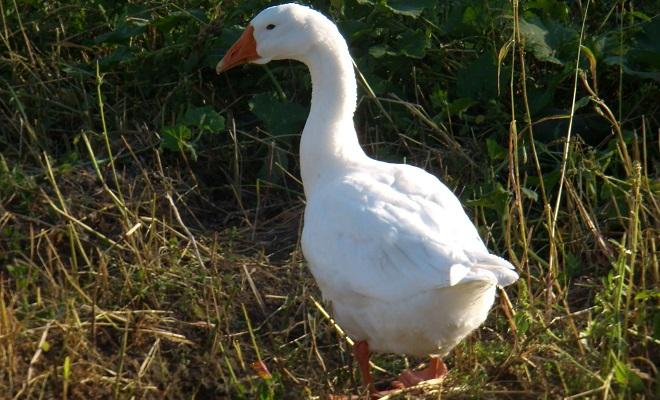 Внешность линдовских гусей