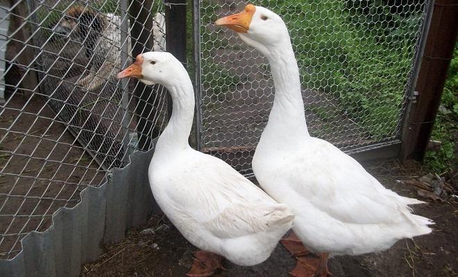 Загон для домашней птицы