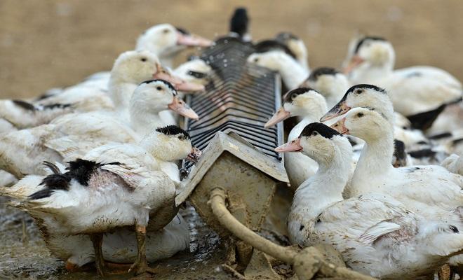 Удобная кормушка для домашней птицы