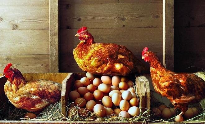 Наседки и яйца