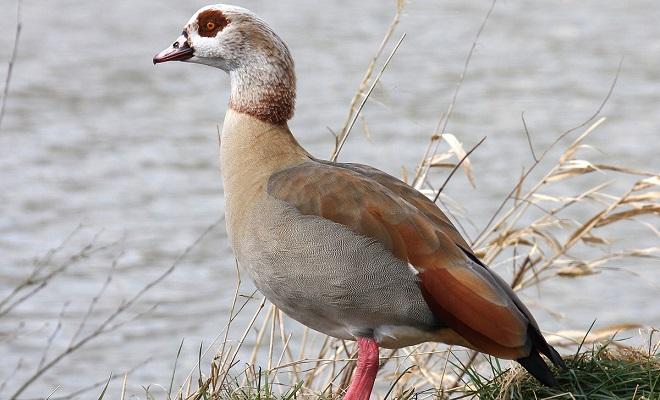 Нильский гусь – священная птица у древних египтян