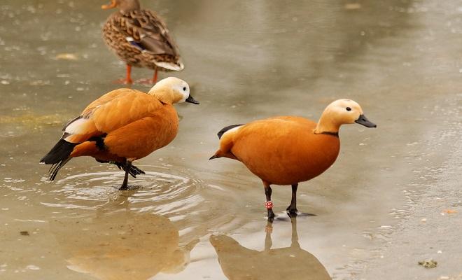 Красная утка на берегу водоема