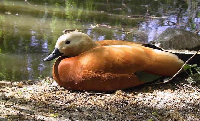 Крупная домашняя рыжая утка