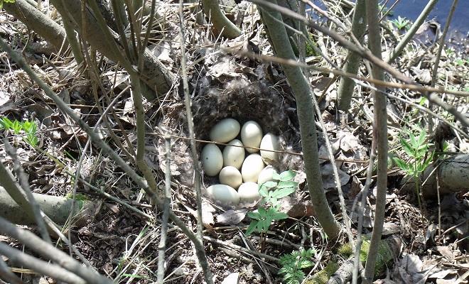 Гнездо красной утки
