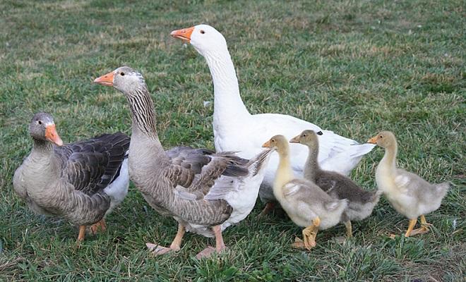 Родительское стадо с гусятами
