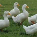 Белая бройлерная утка