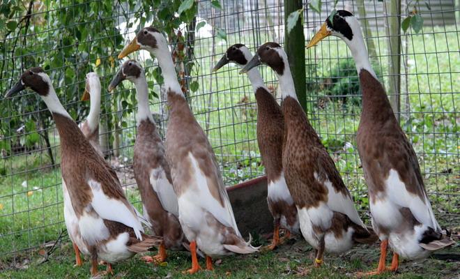 Утки породы индийский бегун