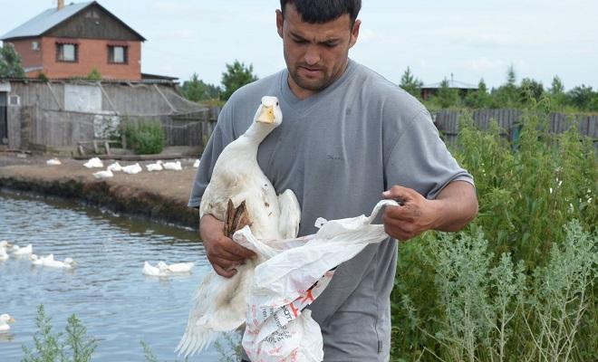 Подготовка птицы к взвешиванию