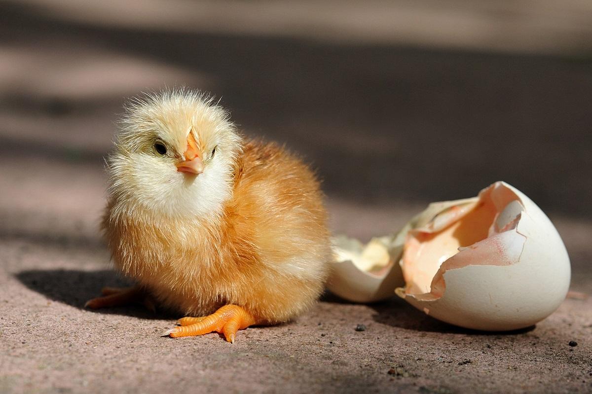 Цыпленок вылупился из яйца картинка