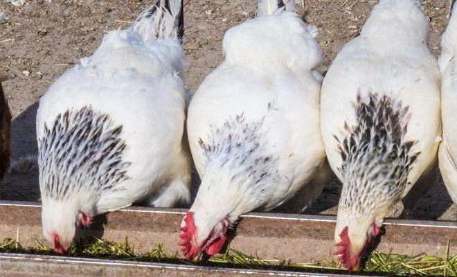 Кормление кур