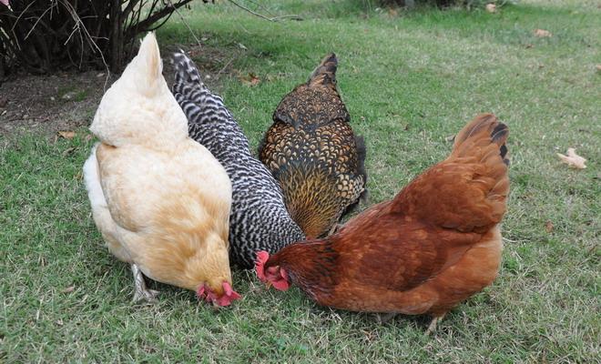 Четыре курицы доминанта
