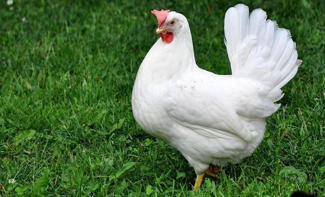 Белая курица породы леггорн