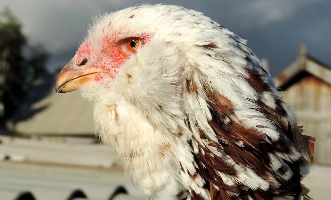 Бакенбарды и борода в виде «круглого шара» у орловских ситцевых кур
