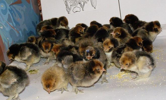 павловские птенцы