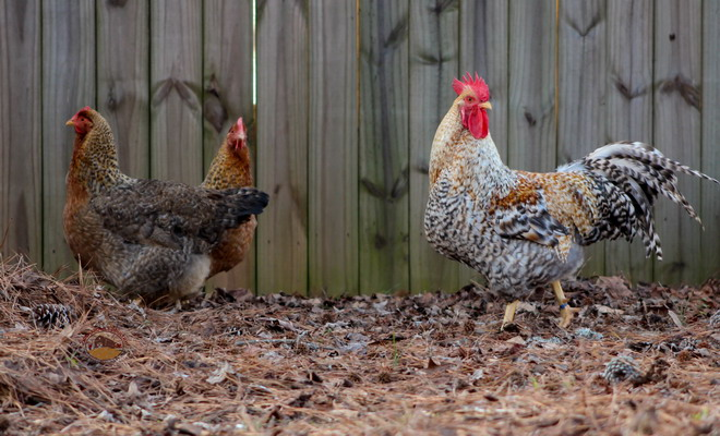 Курица и петух породы билефельдер